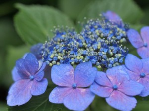 hydrangea_flower